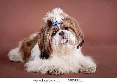 Shih Tzu dog on a brown background