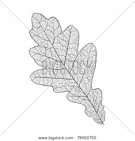 oak leaf skeleton on white