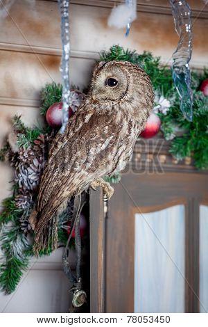 Tawny or Brown Owl on window. Christmas