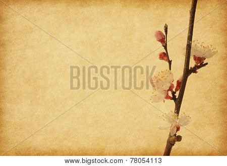 Aged paper texture with apricot  blossom.