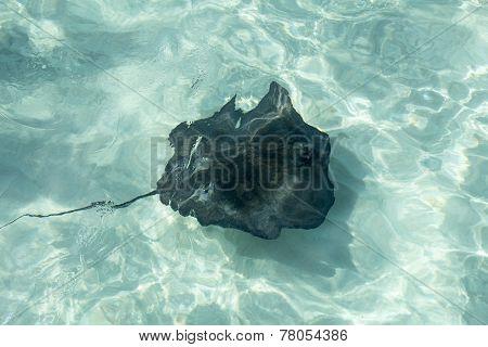 Manta Fish