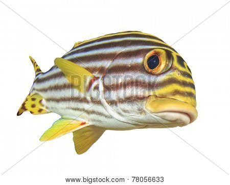 Tropical Fish isolated on white background: Oriental Sweetlips