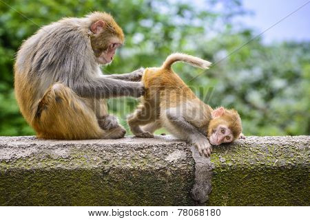 An adult macaque grooms an infant in Qianling Park, Guiyang,Guizhou, China.