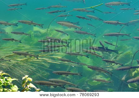 Trouts In The Clear Water