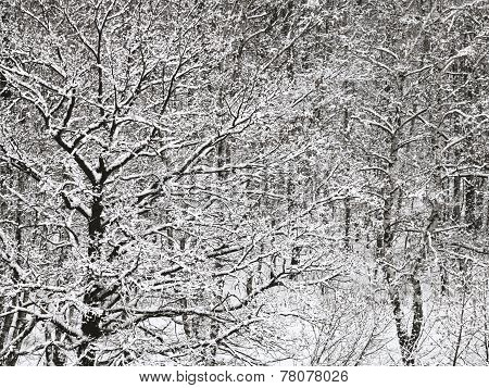 Snowbound Oak And Birch Forest In Winter