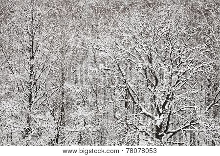 Snowbound Oak And Birch Woods In Winter