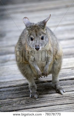Red Necked Pademelon
