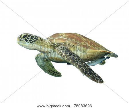 Sea Turtle isolated on white
