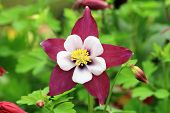 pic of columbine  - Columbine flower and buds - JPG