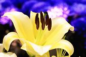 pic of lily  - Easter Lily - JPG