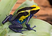 picture of poison dart frogs  - poison dart frog - JPG