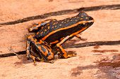 picture of orange frog  - poison arrow frog Ameerega trivittatus a tropical amphibian fromthe Amazon jungle - JPG