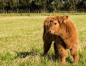 foto of highland-cattle  - Brown hair highland calf in a New Zealand paddock - JPG
