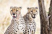 stock photo of cheetah  - African cheetah looking for enemies at the Savannah in Serengeti - JPG