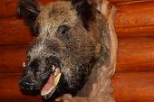 image of buck teeth  - Closeup of stuffed wild boar head with fangs hanging on wooden wall log - JPG