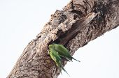 stock photo of parakeet  - Two green parakeets, Psittacula Krameri, perched on an old tree trunk in Sri Lanka