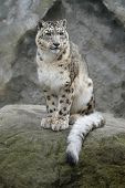 image of panthera uncia  - Snow leopard  - JPG
