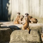 picture of meerkats  - family of meerkats  on a warm autumn evening - JPG