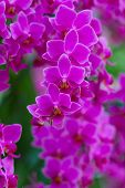 picture of orquidea  - Pink Orchids in the garden  - JPG