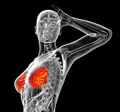 picture of mammary  - 3d render medical illustration of the human breast  - JPG