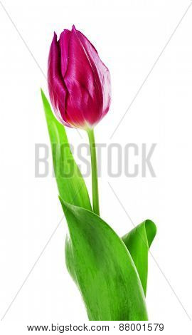 Color tulip isolated on white