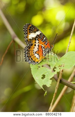 Red Lacewing butterfly , Cethosia biblis
