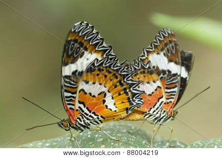 Red Lacewing butterfly , Cethosia biblis,