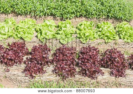 Red lettuce in plots covered with straw .