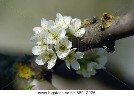 Branch With Blossoming Flowers