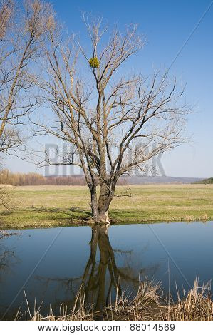 Old Tree On The Bank Of The River In The Spring Against The Blue Sky