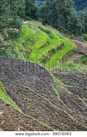 Rice Field In Nepal