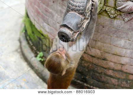 Monkey Drinking From A Public Fountain. Swayambunath Temple, Nepal