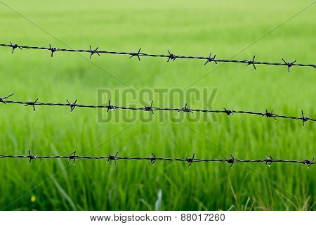 Barbed Wire With Rice Background After Raining
