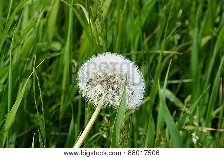 grass flower on Appenzell