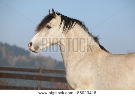 Amazing Palomino Welsh Cob Stallion With Black Hair