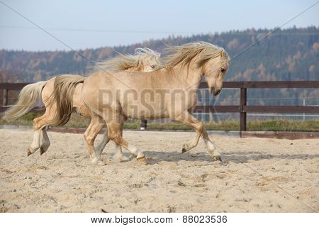 Two Amazing Welsh Pony Stallions Playing Together