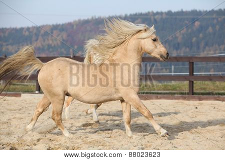 Amazaing Palomino Welsh Pony Of Cob Type Running