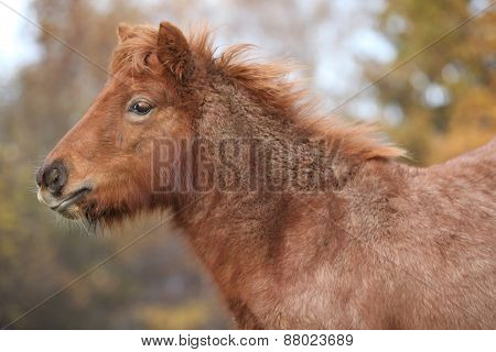 Young Shetland Pony In Autumn