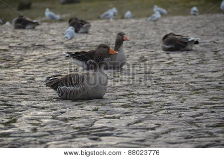 Grey Geese on the banks of the Elbe