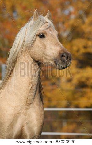Amazing Welsh Pony Of Cob Type Stallion