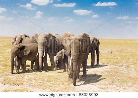 Loxodonta africana, African bush elephant.