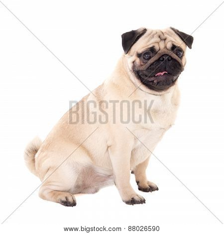 Side View Of Funny Pug Dog Isolated On White