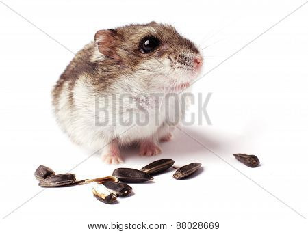 hamster with grain on white