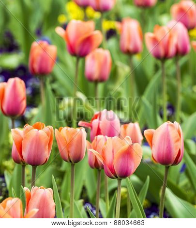 Beautiful Blooming Red And Pink Tulips