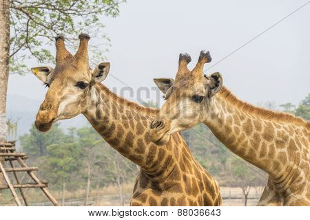 Hungry Giraffe