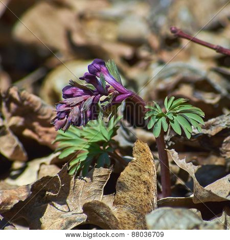 Corydalis Solida. The First Shoots Of Spring.