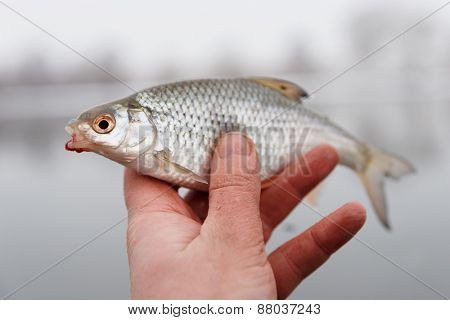 Little roach with bloodworm in mouth in fisherman's hand