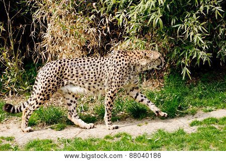 Cheetah Going Hunting