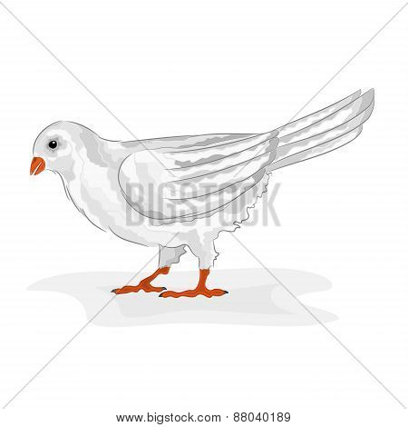 Bird White Pigeon  Vector