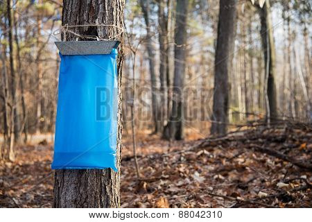 Maple Syrup Tapping In The Spring